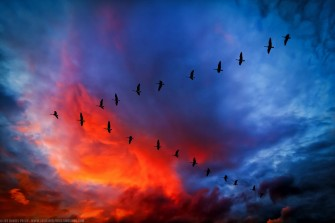 Canada Geese flying in a V formation with a brightly colored but dark sky background